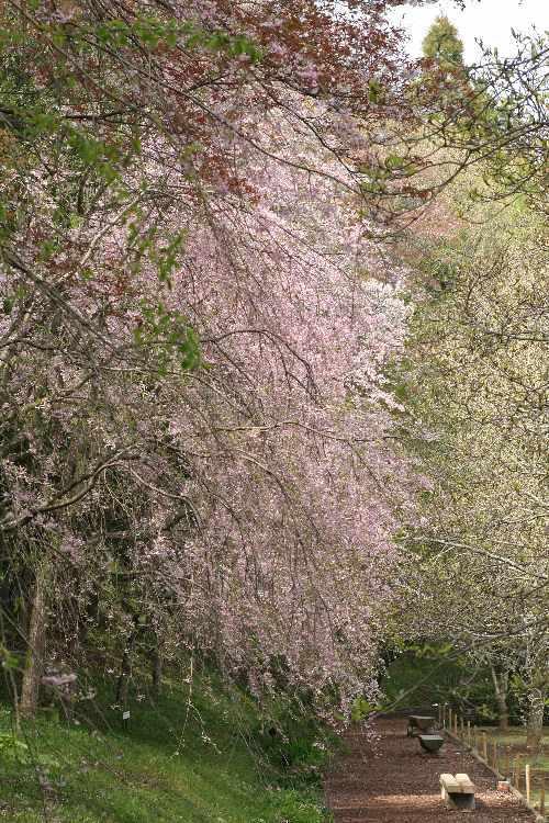 Sakura0804_y750.jpg