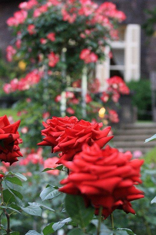 rose0929_y750.jpg