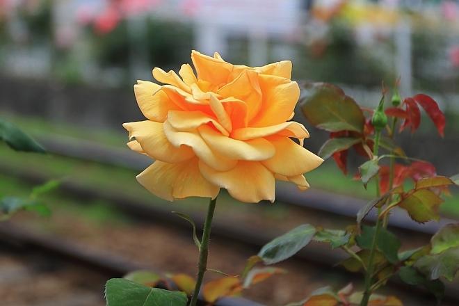 rose1908_x660.jpg