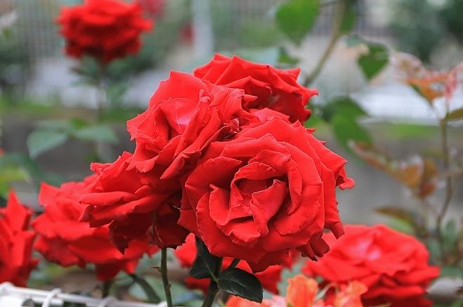 rose1911_x660.jpg