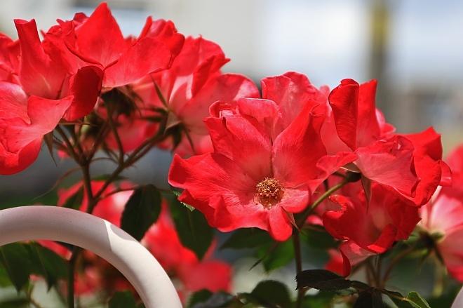 rose1923_x660.jpg