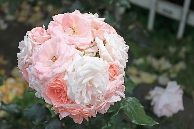 rose1928_x660.jpg