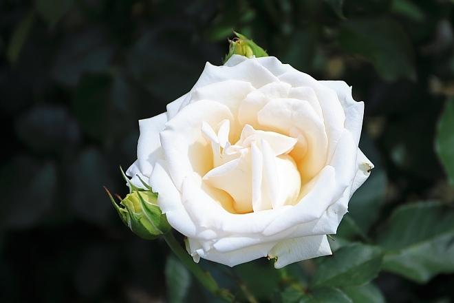 rose1929_x660.jpg