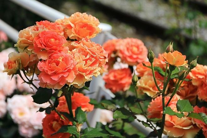 rose1932_x660.jpg
