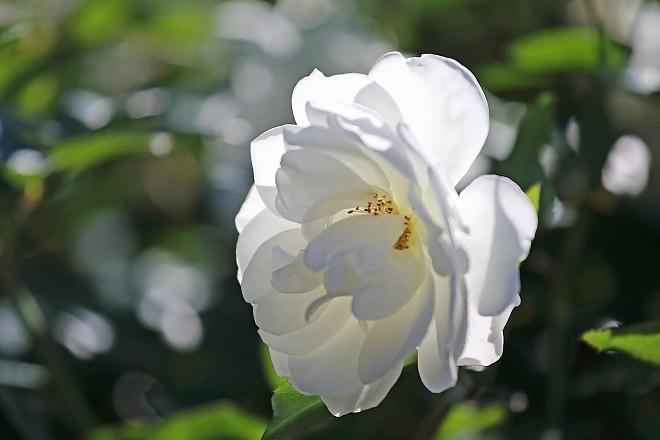 rose2005_x660.jpg
