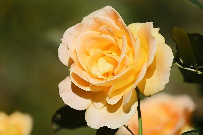 rose2018_x660.jpg