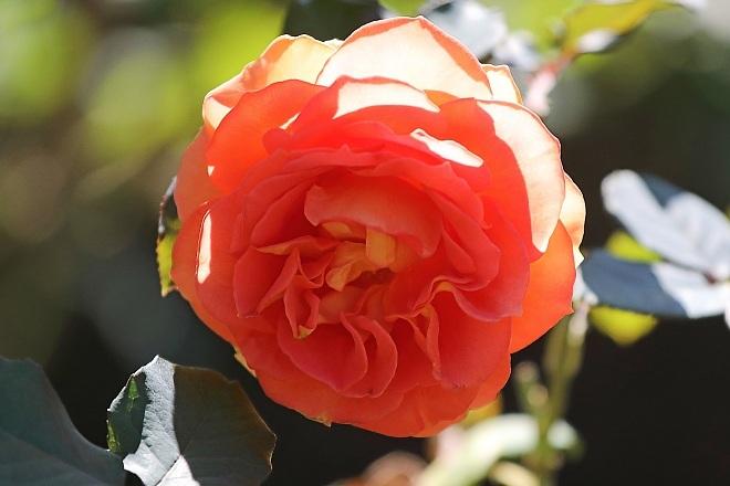 rose2027_x660.jpg