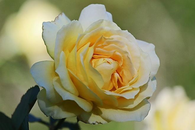 rose2037_x660.jpg