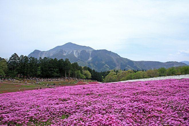 shibazakura1215_x660.jpg