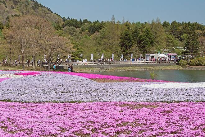 shibazakura1511_x660.jpg
