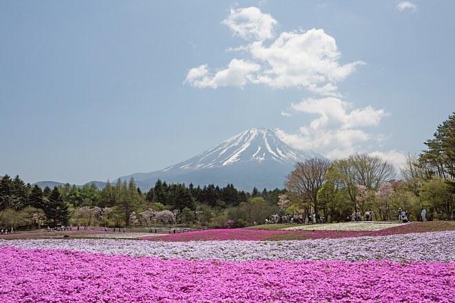 shibazakura1518_x660.jpg