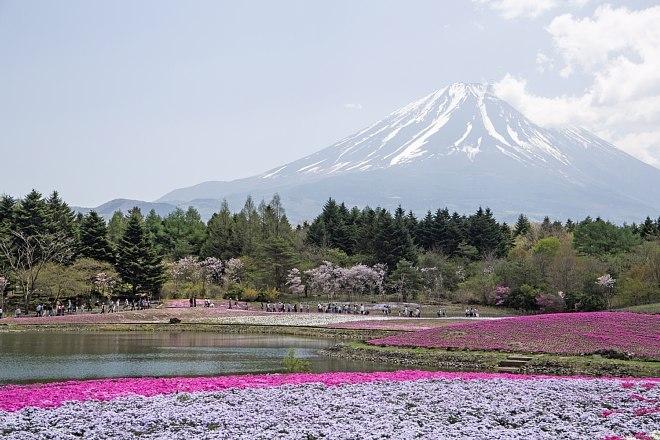 shibazakura1521_x660.jpg